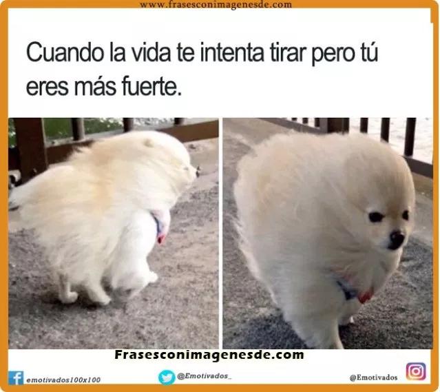 Chistes Con El Perro Grande Y Fuerte Espanol Busqueda De Google Pomeranian Puppies For Free Funny Dog Memes Dog Memes