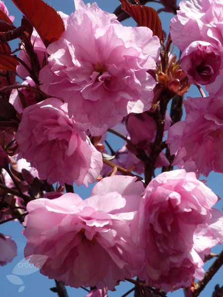 Prunus Royal Burgundy Japanese Flowering Cherry Small Trees For Garden Prunus Japanese Flowering Cherry