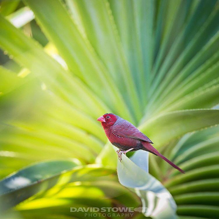 Crimson on Green .............................. Crimson Finch (black-bellied race) somewhere in the Gulf of Carpentaria  #crimsonfinch #australianbirds #wildlifephotography #birdsofinstagram #birdphotography #ozbirds #canonaustralia #birdlife #birdlifeaustralia #natgeo