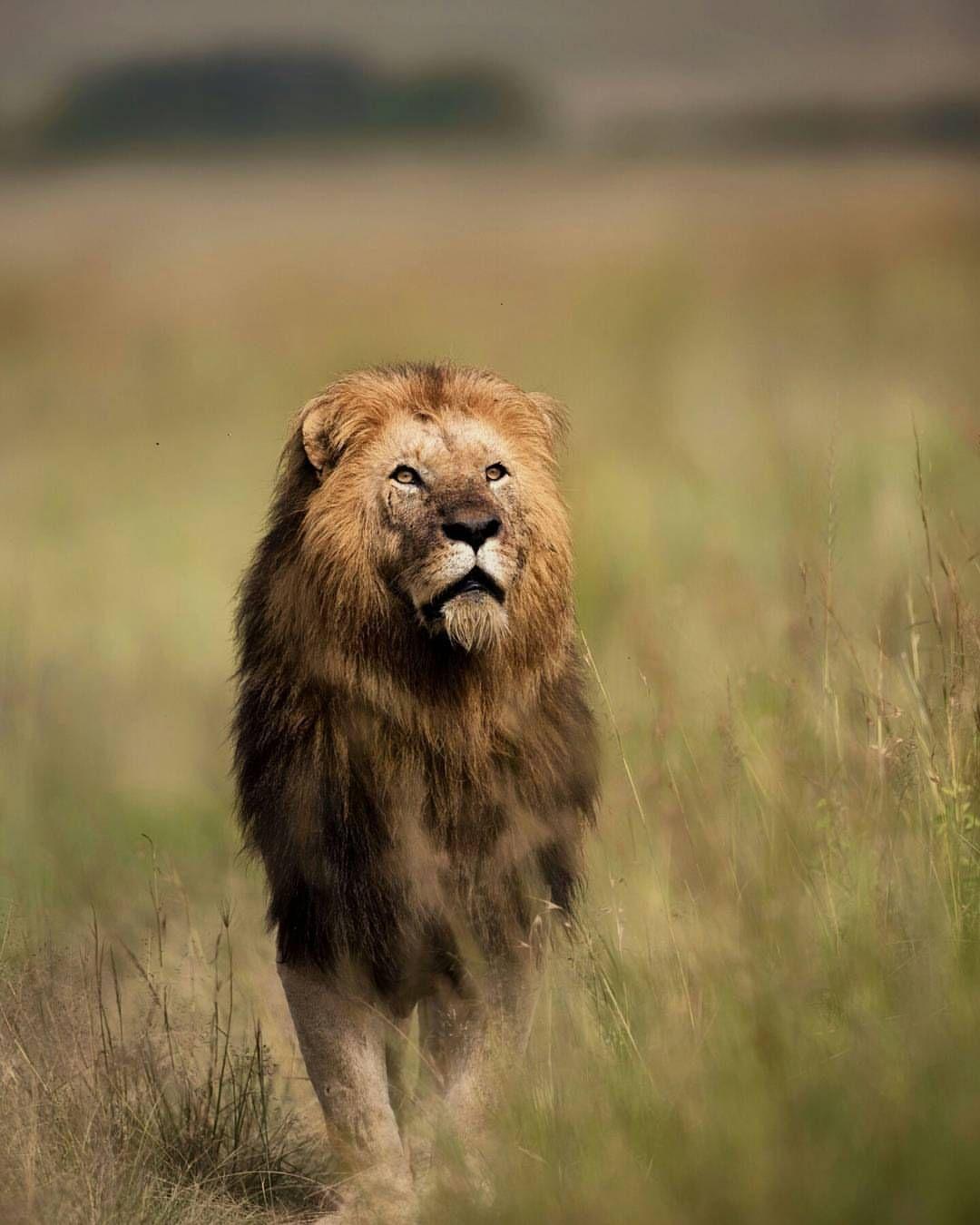 . I'm King. Photography by @ (Ahmet Erol). lion at kenya ...