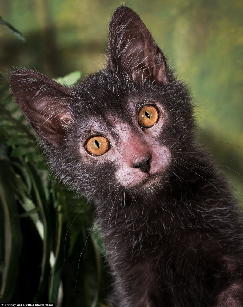 New Cat Breed That Act Like Dogs Werewolf Cats Werewolf Cat Lykoi Cat Dog Personality