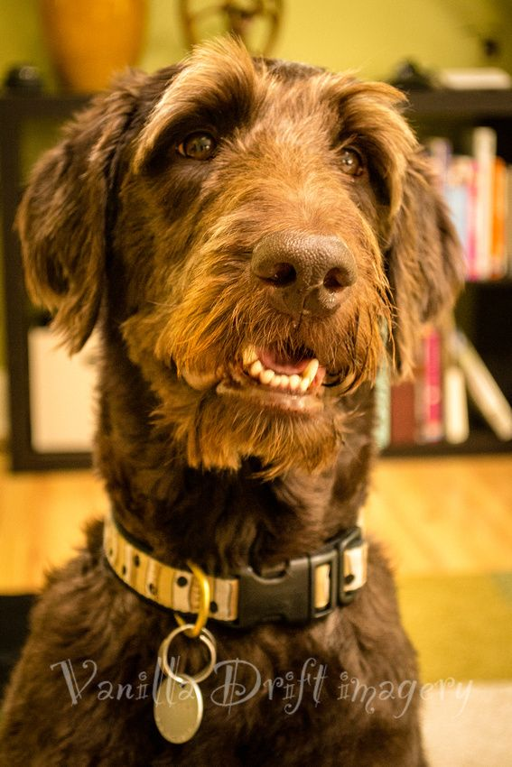 Chester The Labradoodle Dachshund Puppies Dogs Happy Animals