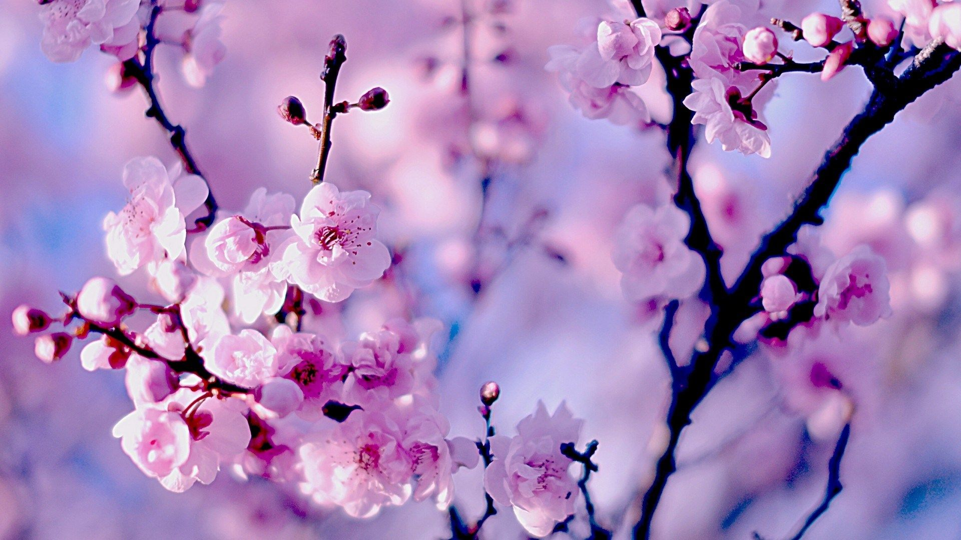 Cherry Blossom Free Computer Wallpaper Download Cherry Blossom Wallpaper Cherry Blossom Background Computer Wallpaper