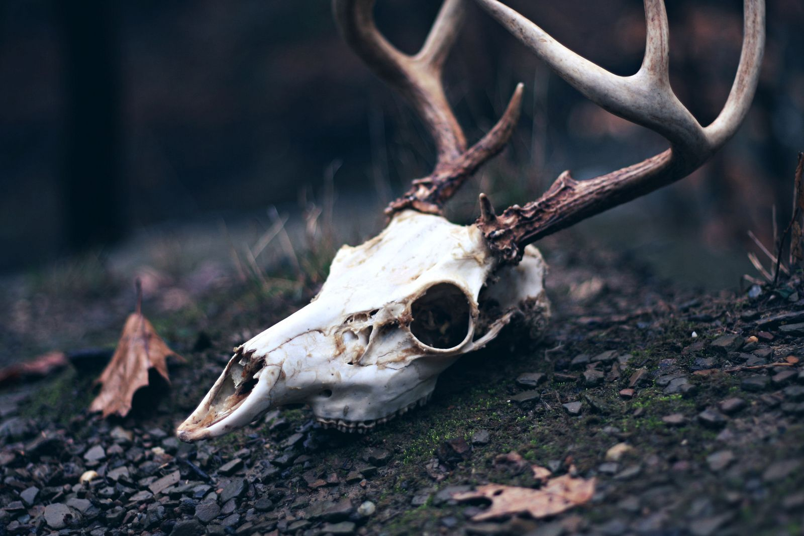 Deer Skull | Pinterest | Deer skulls, Dark photography and Photo s