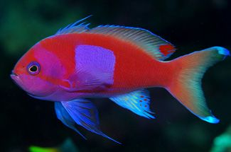 Squareback anthias is also known as the squarespot purple for Pink saltwater fish