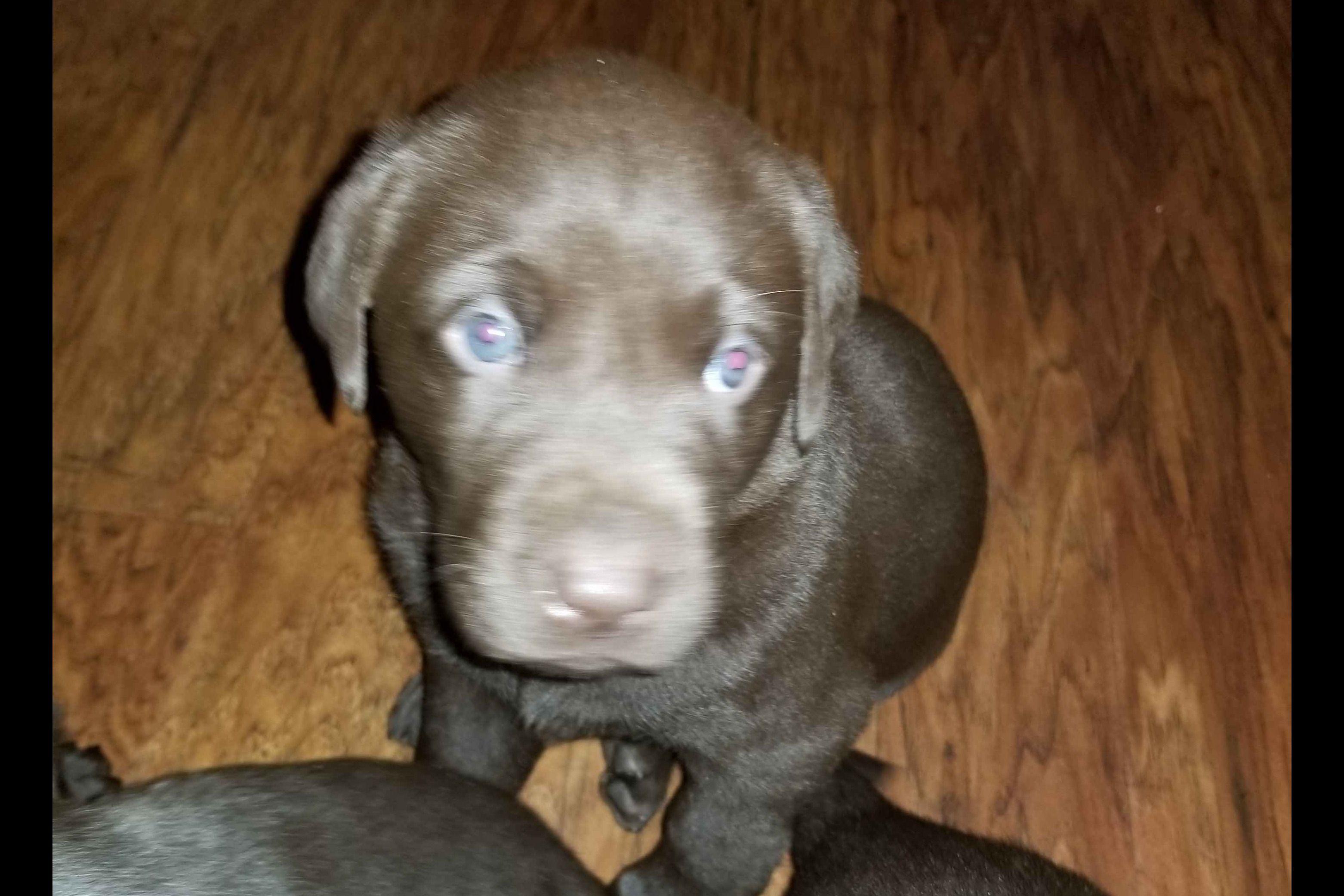 Victoria Carlisle Has Labrador Retriever Puppies For Sale In