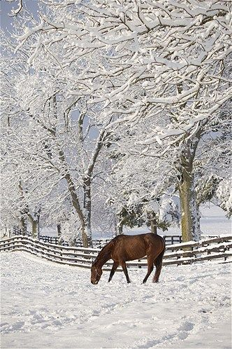 A thoroughbred stands in a snow-covered pasture in Lexington