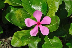 """Periwinkles (catharanthus): Catharanthus is a genus of flowering plants in the dogbane family, Apocynaceae. Like genus Vinca, they are known commonly as periwinkles. There are eight known species. Seven are endemic to Madagascar, though one, C. roseus, is widely naturalized around the world. The eighth species, C. pusillus, is native to India and Sri Lanka. The name Catharanthus comes from the Greek for """"pure flower"""".  These are perennial herbs with oppositely or almost oppositely arranged…"""