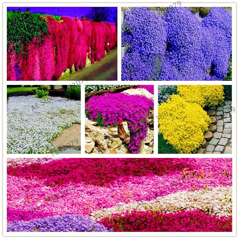 205pcs Rare Rock Cress Seeds Climbing Plant Creeping Thyme Seeds Perennial Ground Cover Flower For Home Gard Thyme Plant Perennial Ground Cover Climbing Plants