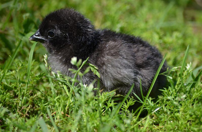 Greenfire Farms - Swedish Black Hen