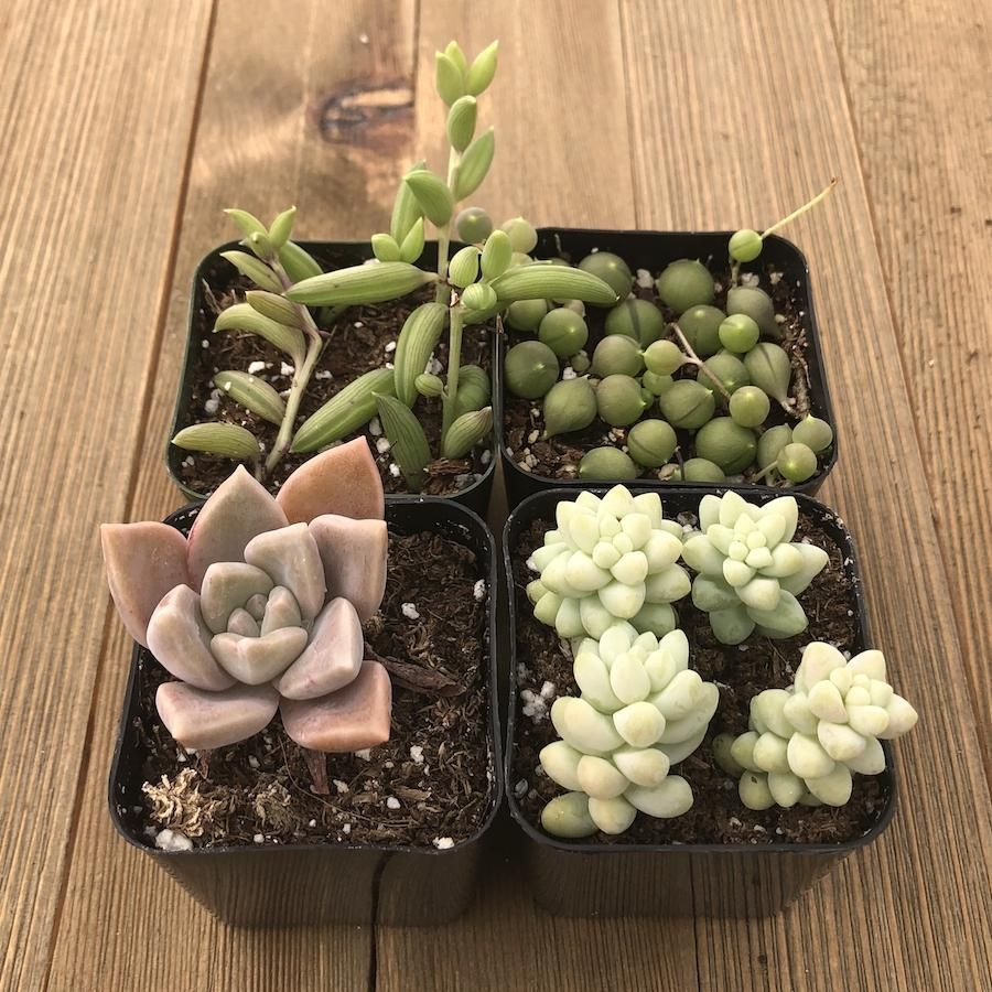 Hanging succulents assorted collection in products