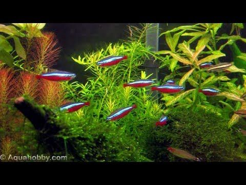 How relaxing is a massive school of Cardinal Tetras to watch!