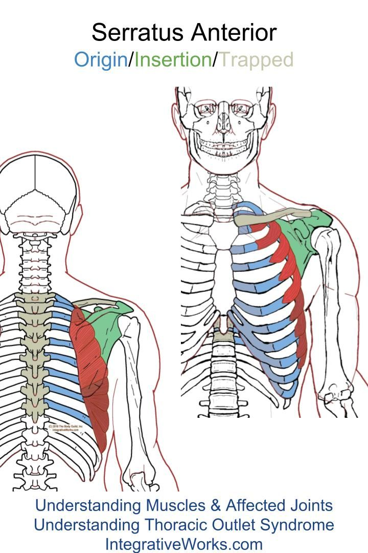 Serratus Anterior – Functional Anatomy