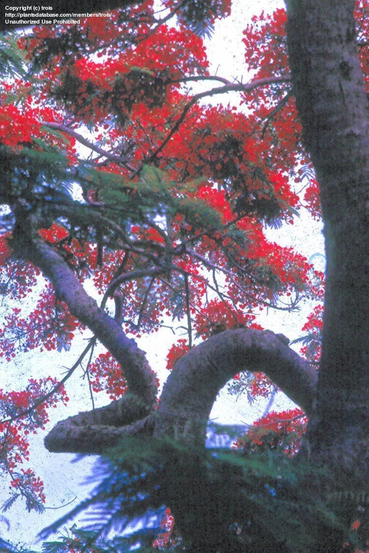 Full Size Picture Of Royal Poinciana, Flamboyant Tree, Flame Tree, Peacock  Flower, Gulmohar (Delonix Regia)