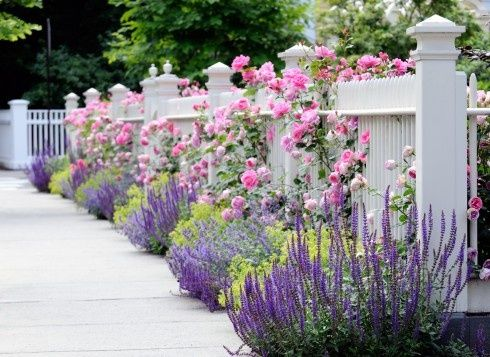 Climbing roses and lavender line the white garden fence.