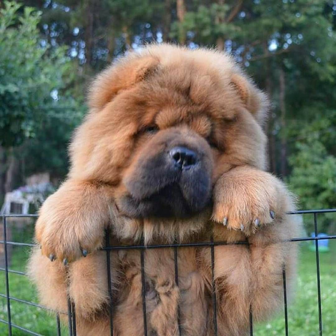 Chow Chow Chow Love Pinterest Dog Animal And Doggies - This instagram chow chow looks like a fluffy potato and its so cute it doesnt even look real