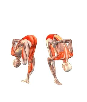 ashtanga shala  yoga anatomy yoga poses yoga muscles