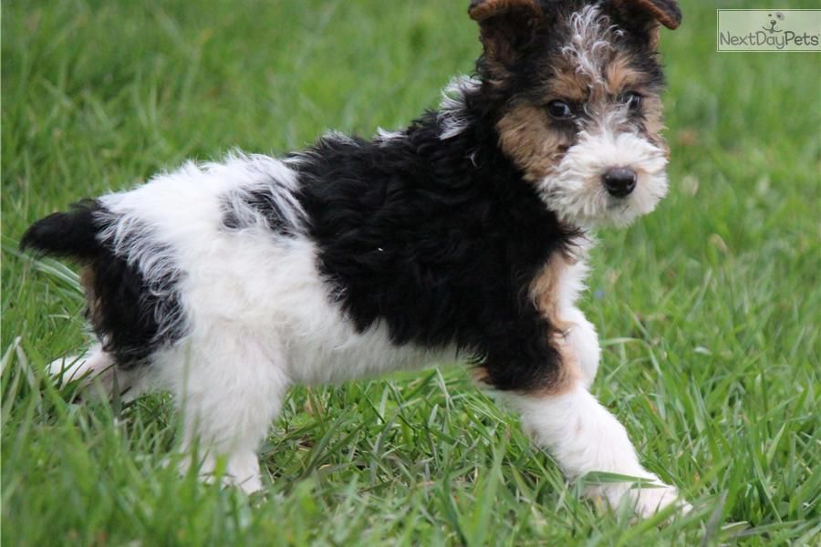 Pin By Maria Angeles Godoy Sanchez On Wire Fox Terriers Fox Terrier Wire Fox Terrier Puppies Wire Fox Terrier