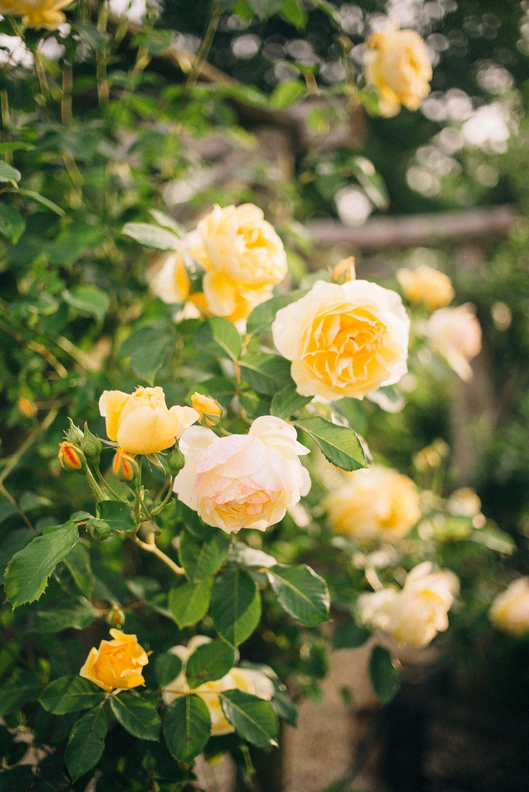 Snaps from an english garden pinterest english gardens yellow snaps from an english garden lucy cuneo mightylinksfo