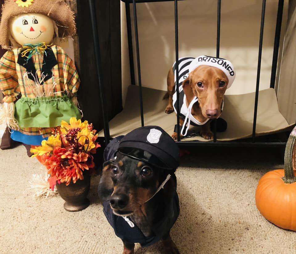 Funny Dachshunds / Weenie dogs / Sausage dog / Dachshund