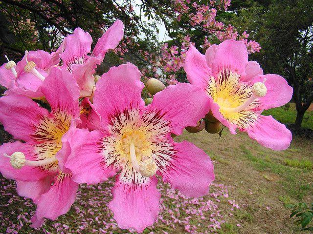 Paineira Rosa Ceiba Speciosa Flower Ceret Park Sao Paulo
