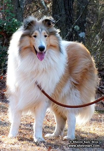 Day At The Park Rough Collie Collie Breeds Collie Dog