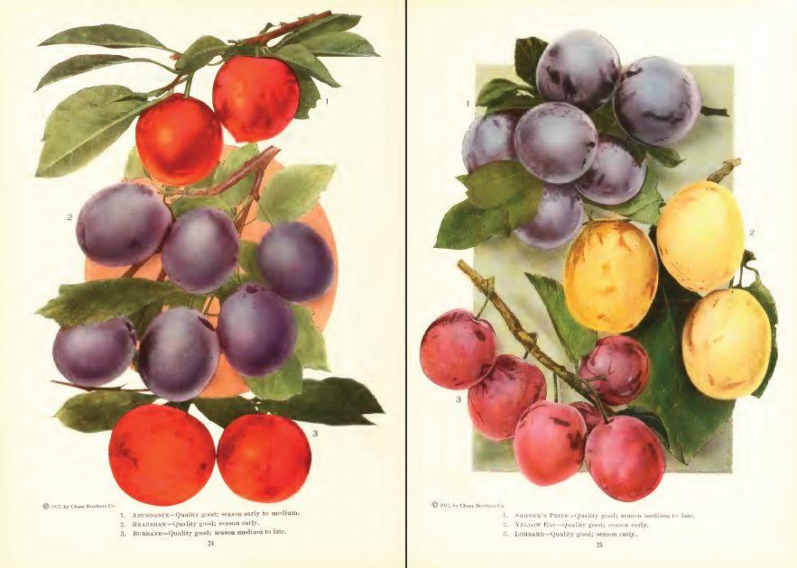 Plums #plums #fruit #botanical #drawing