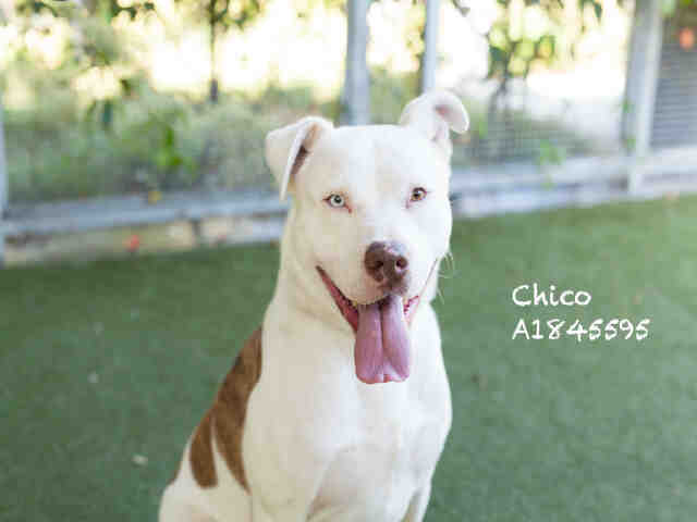 Adopt Chico On In 2020 Dog Adoption Homeless Pets Adoption