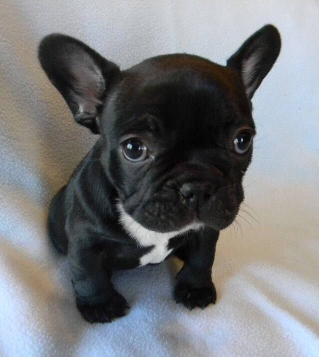 Fwf 60 Way To0 Cute Black White Frenchie French Bulldog