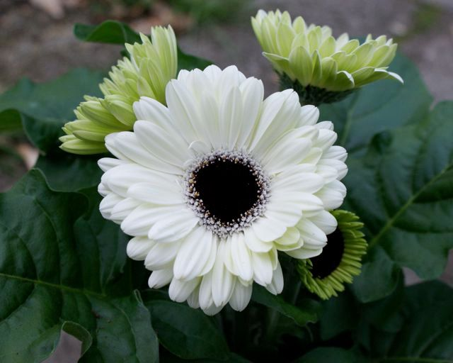 White Gerbera Daisy With Black Center Dark Green Leaves And Three