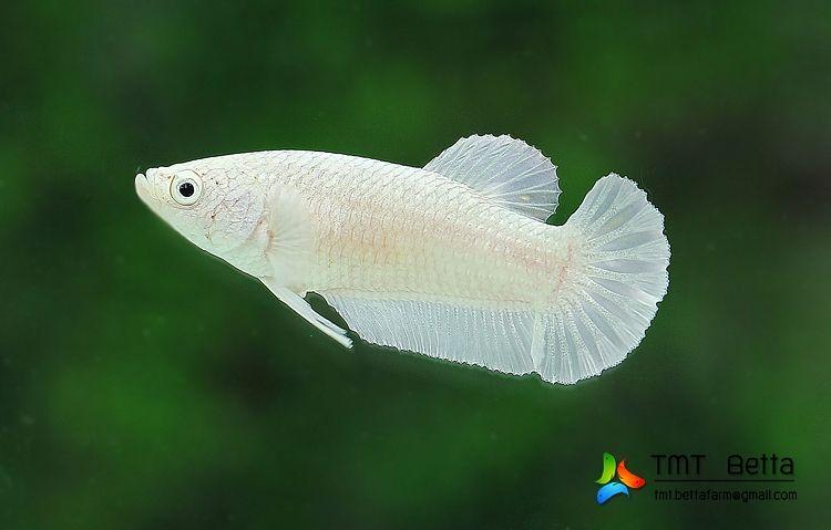 Ispcp Omega Error 404 Betta Betta Fish Pet Fish