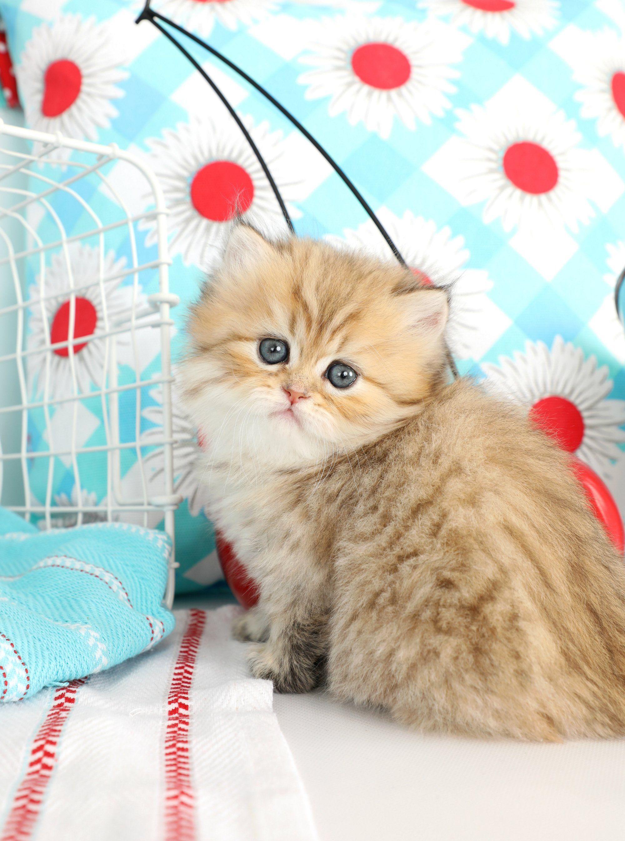 Glitterbug Golden Chinchilla Persian Kitten For Sale Persian Kittens For Sale Persian Kittens Persian Cat