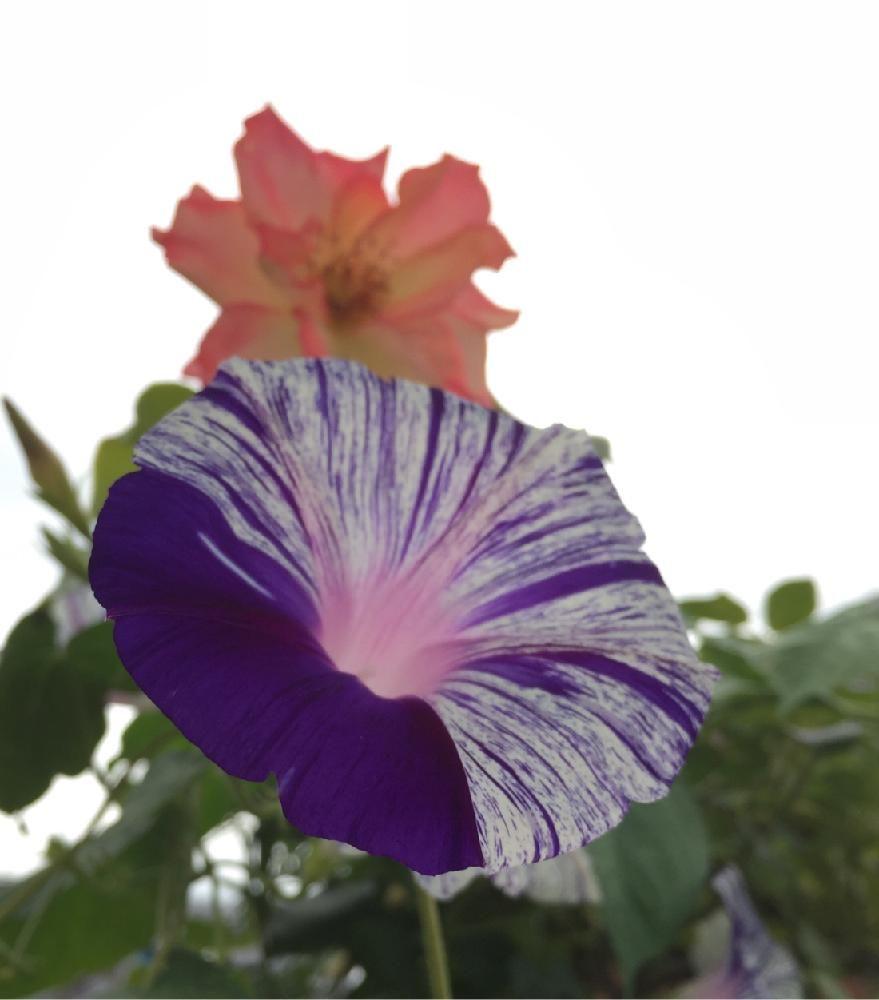 バルコニー/ベランダの画像 by なるとさん | バルコニー/ベランダとサハラ '98とバラとアサガオとマイ・コレクションと夏の花とバラ 鉢植えとローズコレクションとガーデニングとロザリアンとバラを楽しむとシボラー