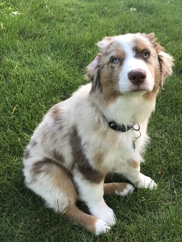 Australian Shepherd Puppy For Sale In Rochester Mn Adn 44283 On