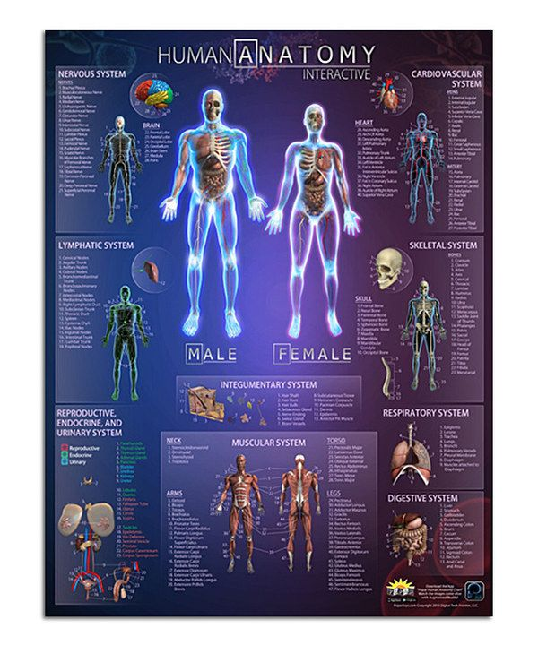Look At This Human Anatomy Interactive Poster The Education Of