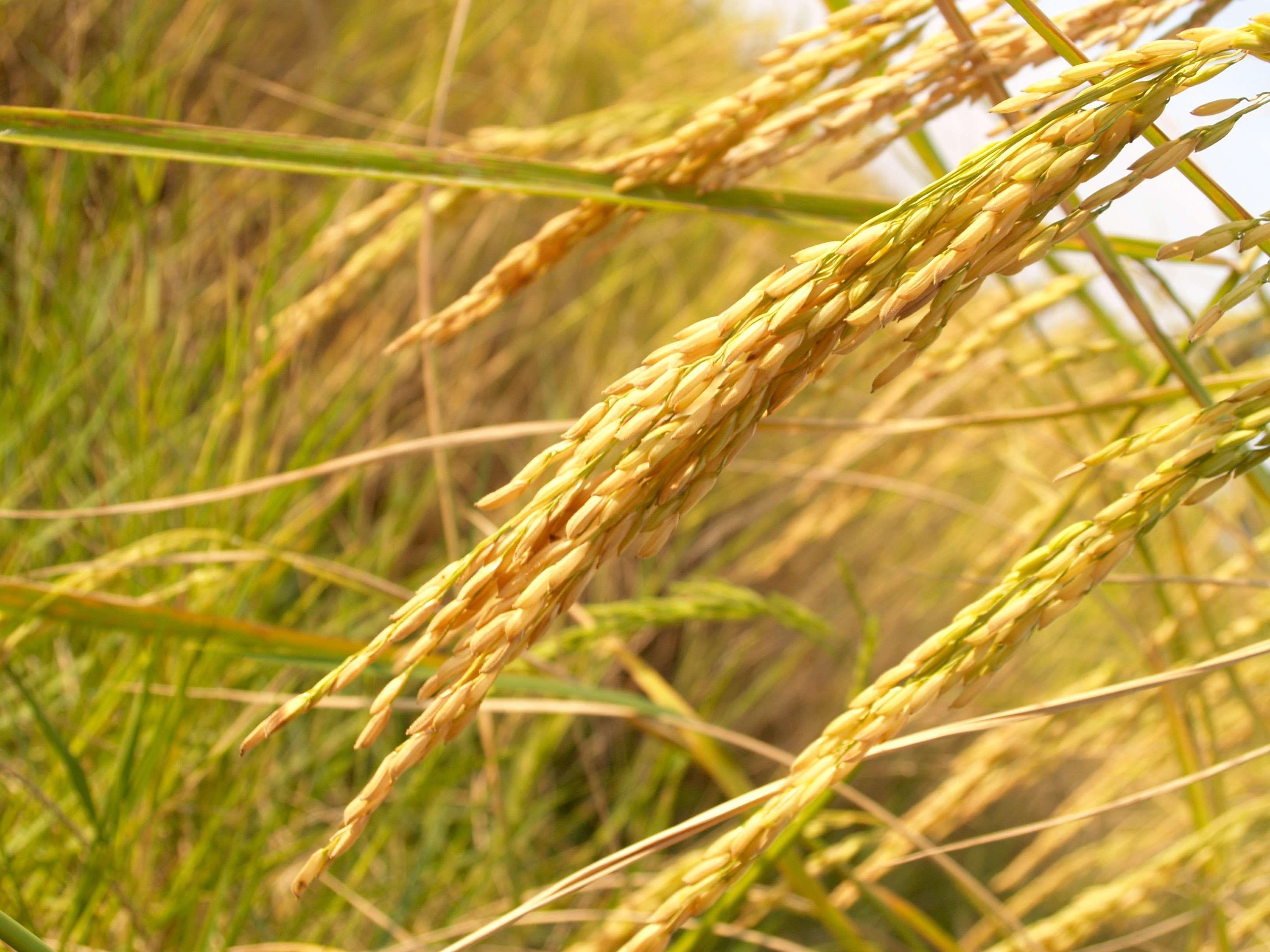 Agriculture Blur Close Up Crops Dry Farm Food Grains Grass