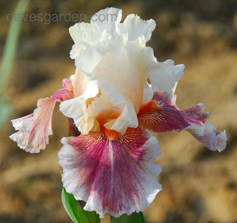 Full Size Picture Of Tall Bearded Iris Heavenly Body Iris Iris Flowers Iris Garden Bearded Iris