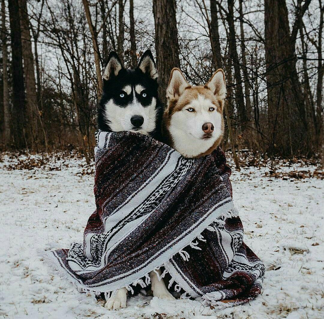 Athletic Siberian Huskies Exercise Needs Siberianhuskypup