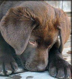 Pin by Ashlyn Edwards on My pupper Lab puppies, Labrador