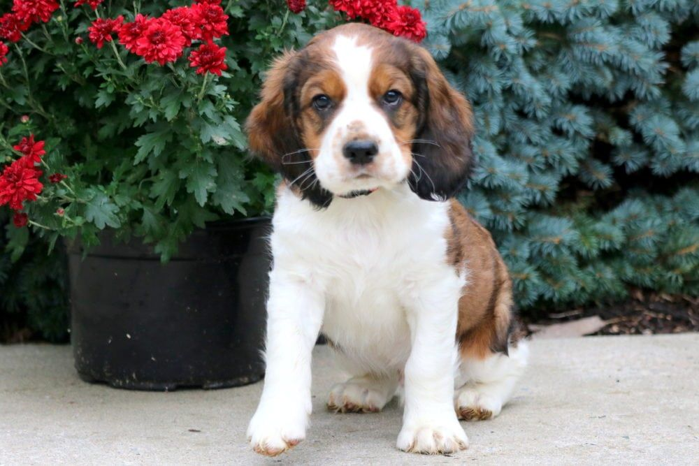 Greater Swiss Mountain Dog Puppies For Sale Europe 2021