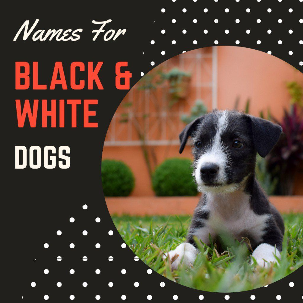 100 Creative Cute And Cool Black And White Dog Names Dog Names Black And White Dog Cute Names For Dogs