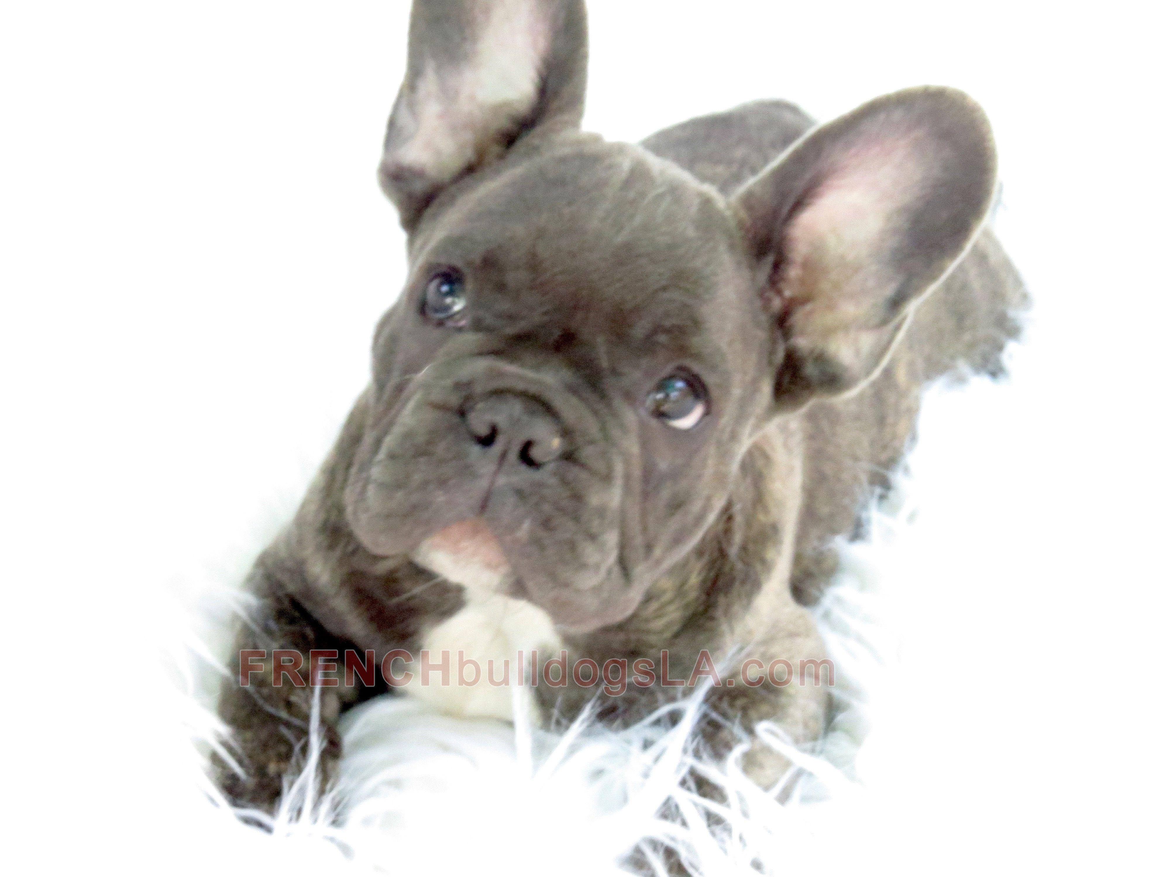 Blue French Bulldog Reverse Brindle Puppy 14 2 French Bulldog Blue French Bulldog Cute French Bulldog