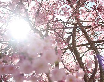 Cherry Blossoms in Washington DC spring. pink . sunlight . flowers. nature. beauty.