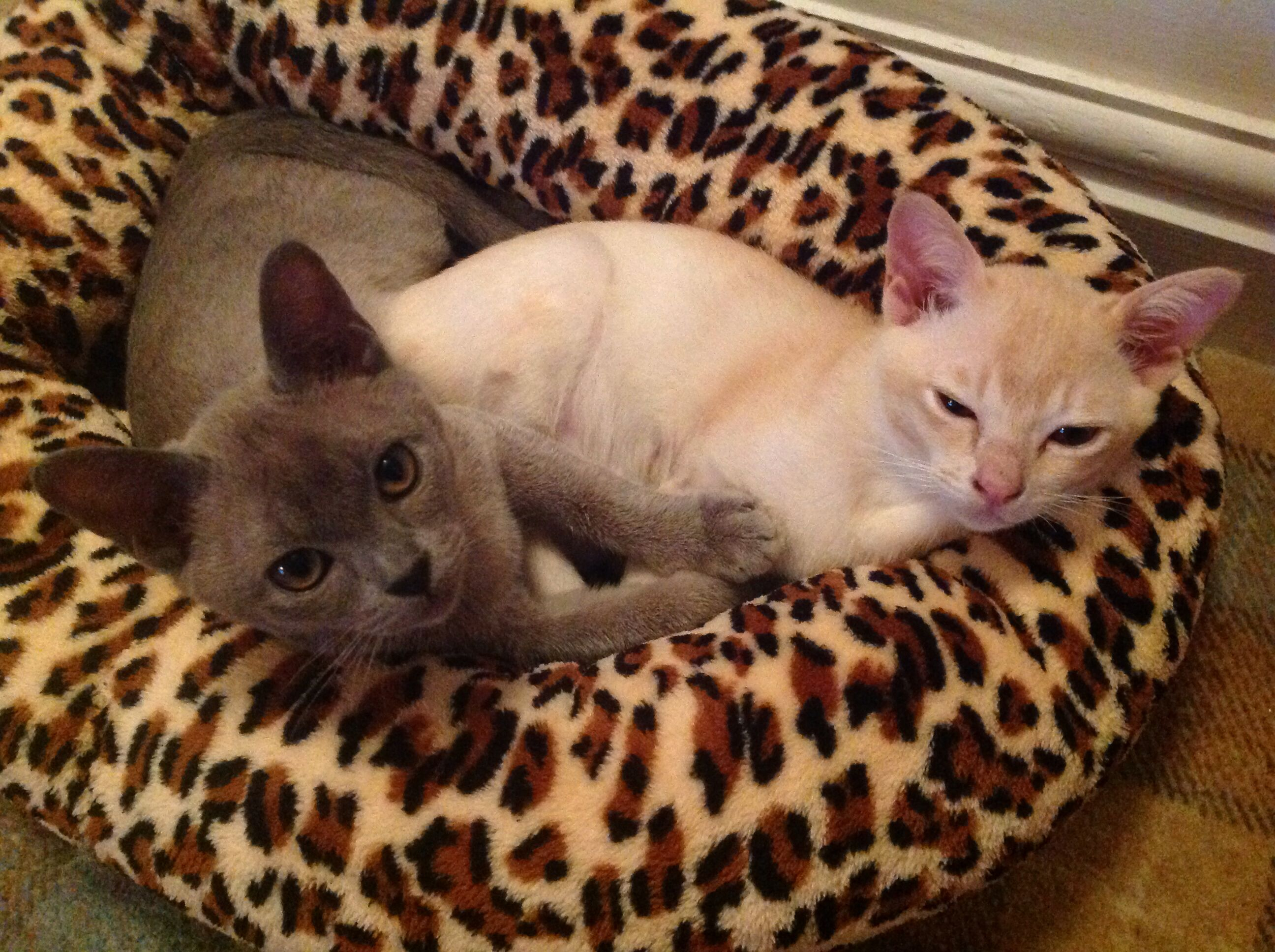 My blue and cream Burmese kittens, aged four months