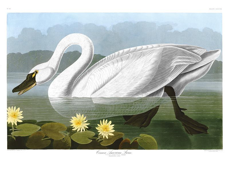 John Audubon, Birds of America, Havell Edition - COMMON AMERICAN SWAN - Sygnus. Remastered to recover all the lost detail and original colours and eliminate 180 years of fading, damage and erosion.  Now as Audubon would have wished for but could never have imagined possible. americanus - RESTORED PRINT