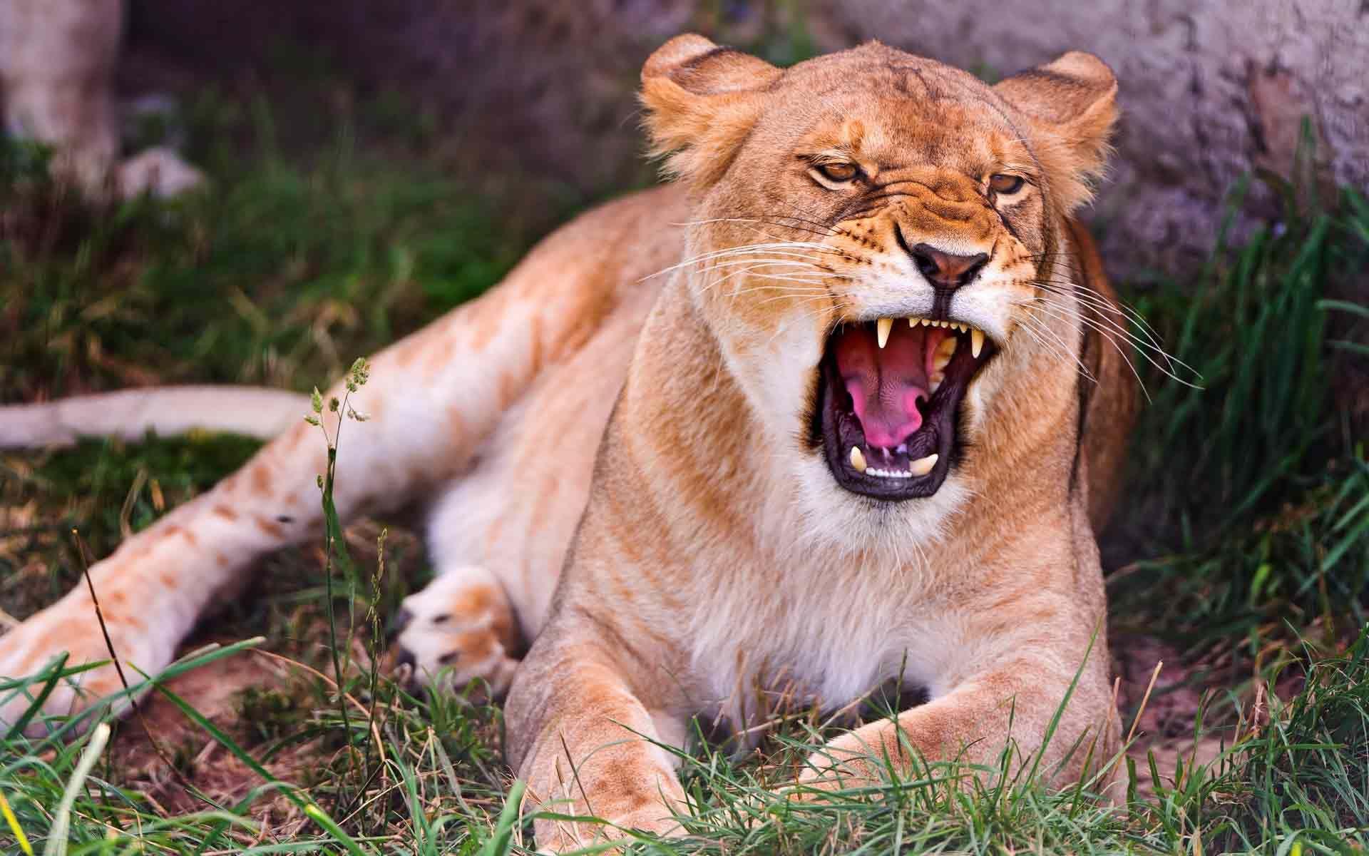 Картинки с львицами