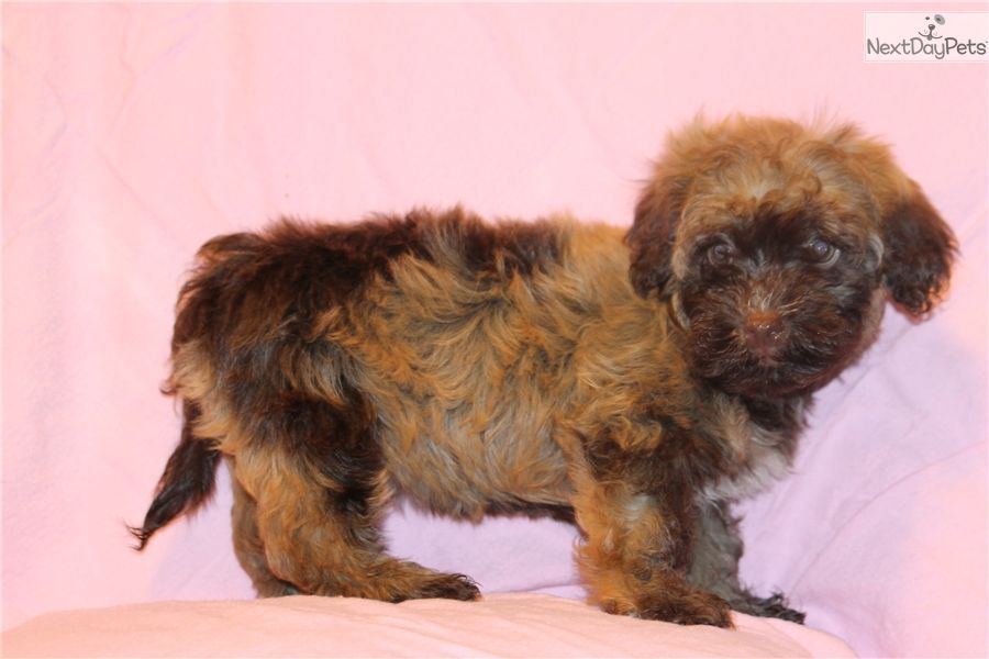 Havanese & Poodle Mix Puppies for sale, Havapoo puppies