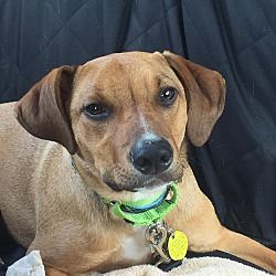 North Olmsted, OH Dachshund. Meet May a Dog for Adoption