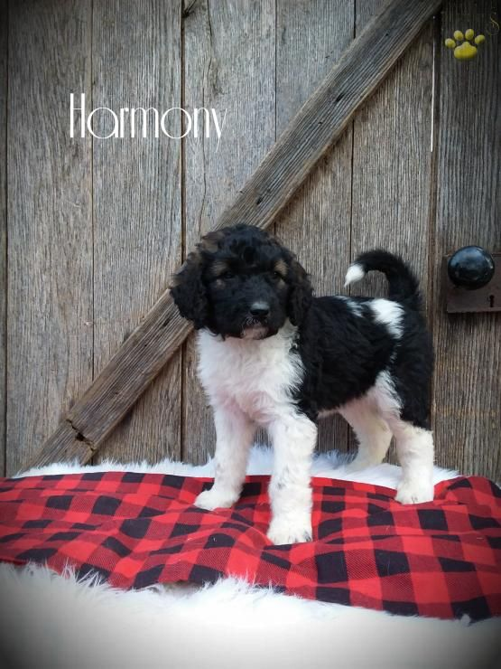 Harmony Labradoodle Puppy For Sale In Fresno Oh Buckeye Puppies With Images Labradoodle Puppy Puppies For Sale Labradoodle