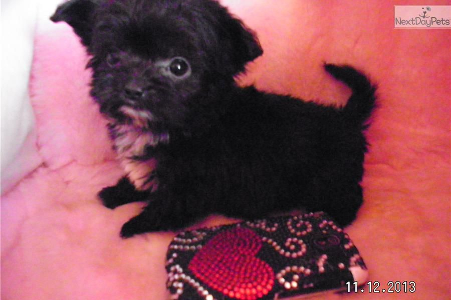 I Am A Cute Chi Poo Chipoo Puppy Looking For A Home On